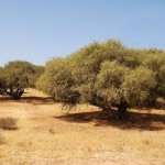 argan tree plantation