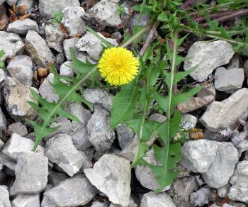 dandelion root kills cancer
