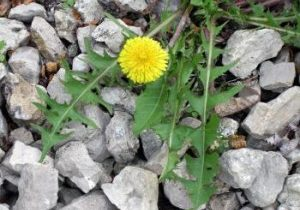 dandelion root kills cancer